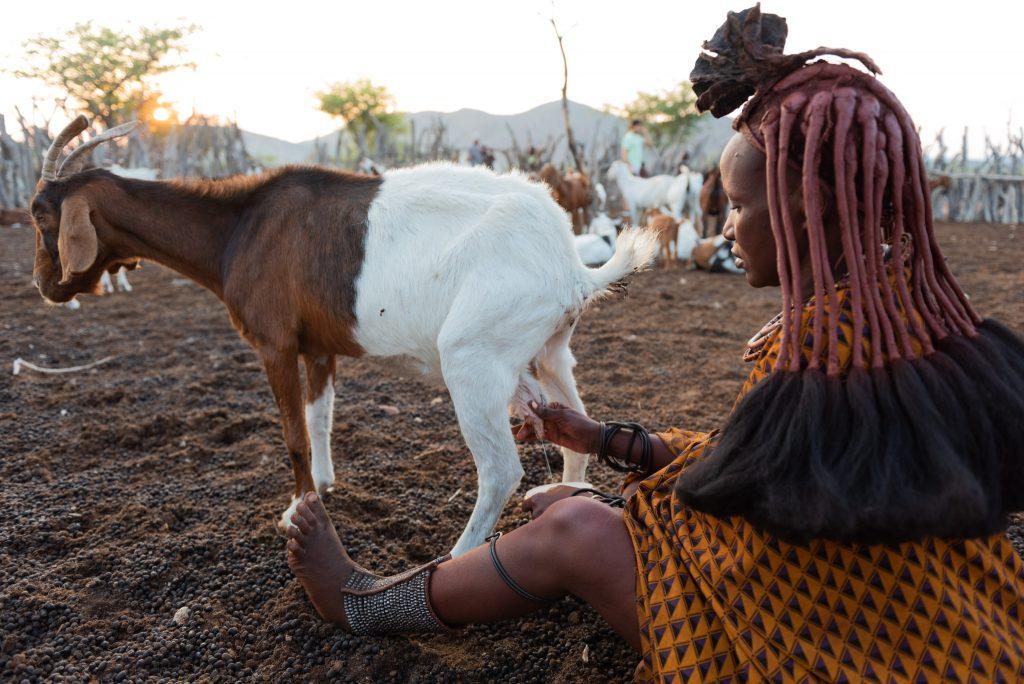 Donna Himba munge la capra all'alba