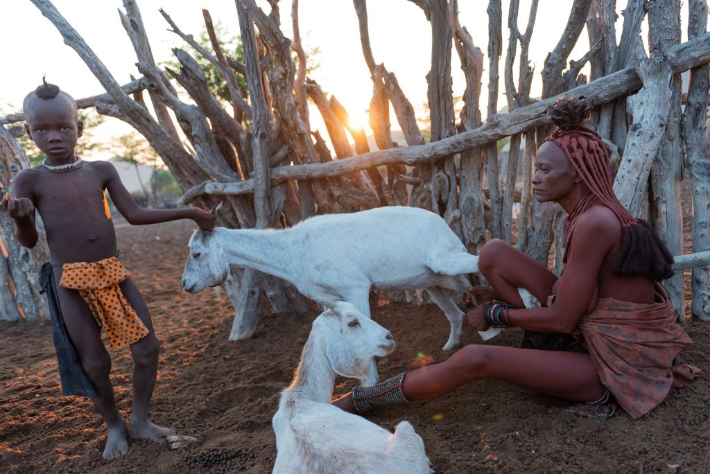 Mungitura delle capre all'alba