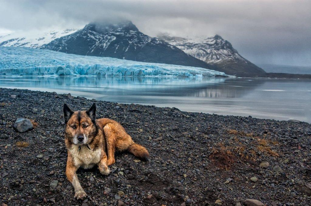 Cane Lupo a Fjallsarlon, Islanda