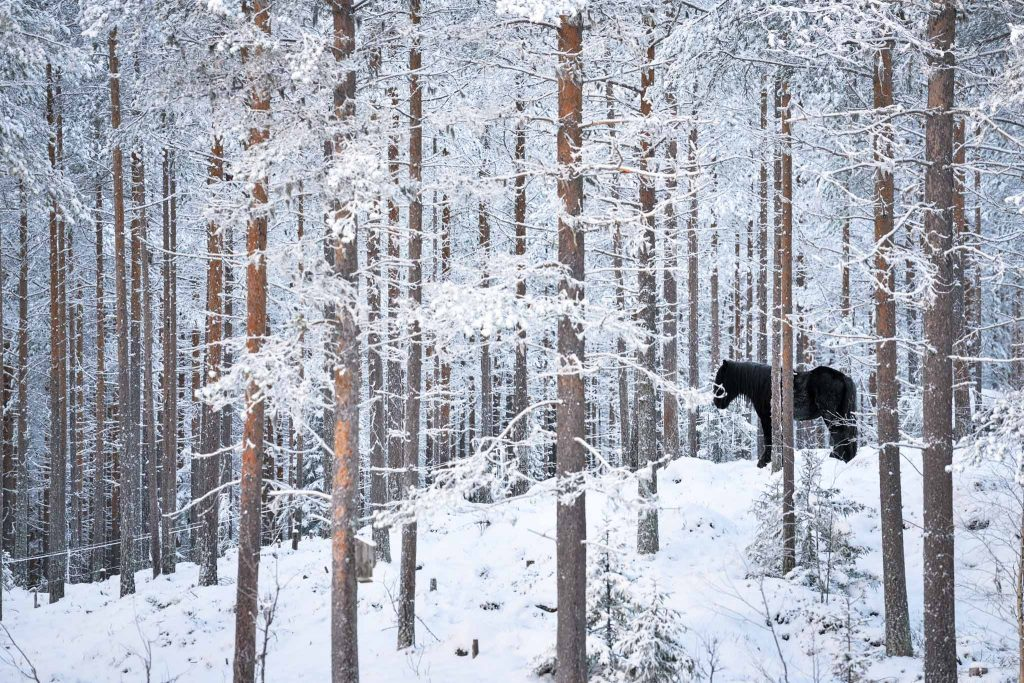 Cavallo in Lapponia Svedese