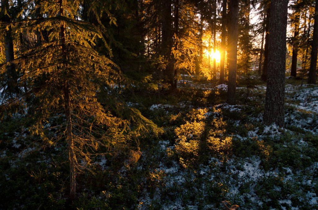 Luce attraverso gli alberi in Lapponia Svedese