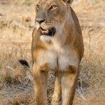 Leonessa del Botswana
