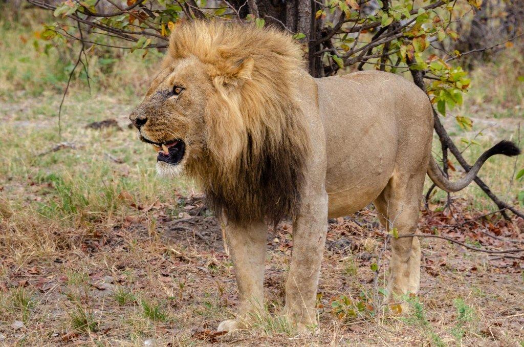 Leone in Botswana