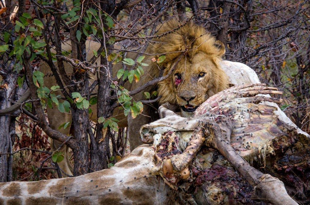 Leone che mangia una giraffa in Botswana