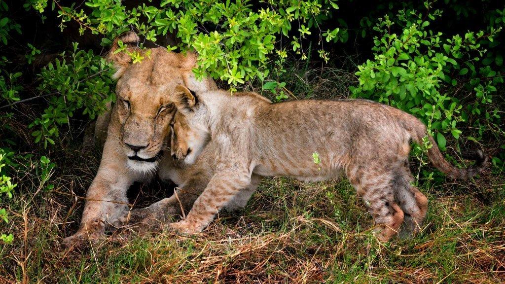Leonessa con cucciolo di leone