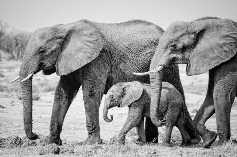 Elefanti del Chobe con cucciolo, Botswana