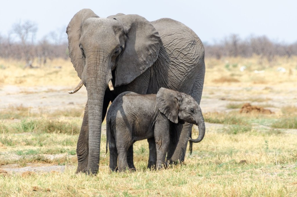 Elefanti del Chobe, Botswana
