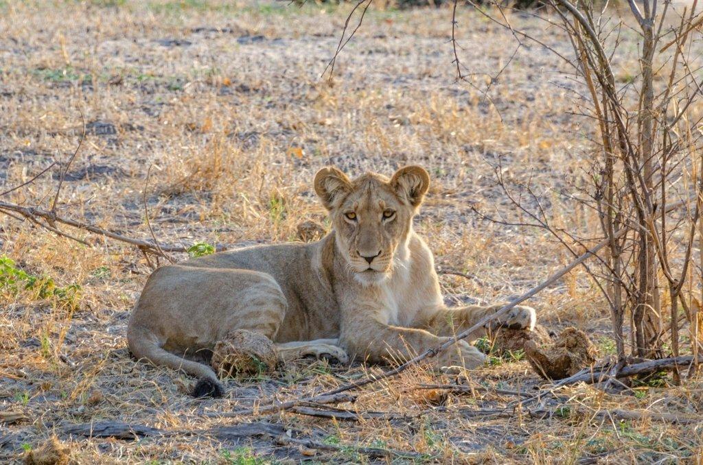 Giovane leone maschio all'alba in Botswana