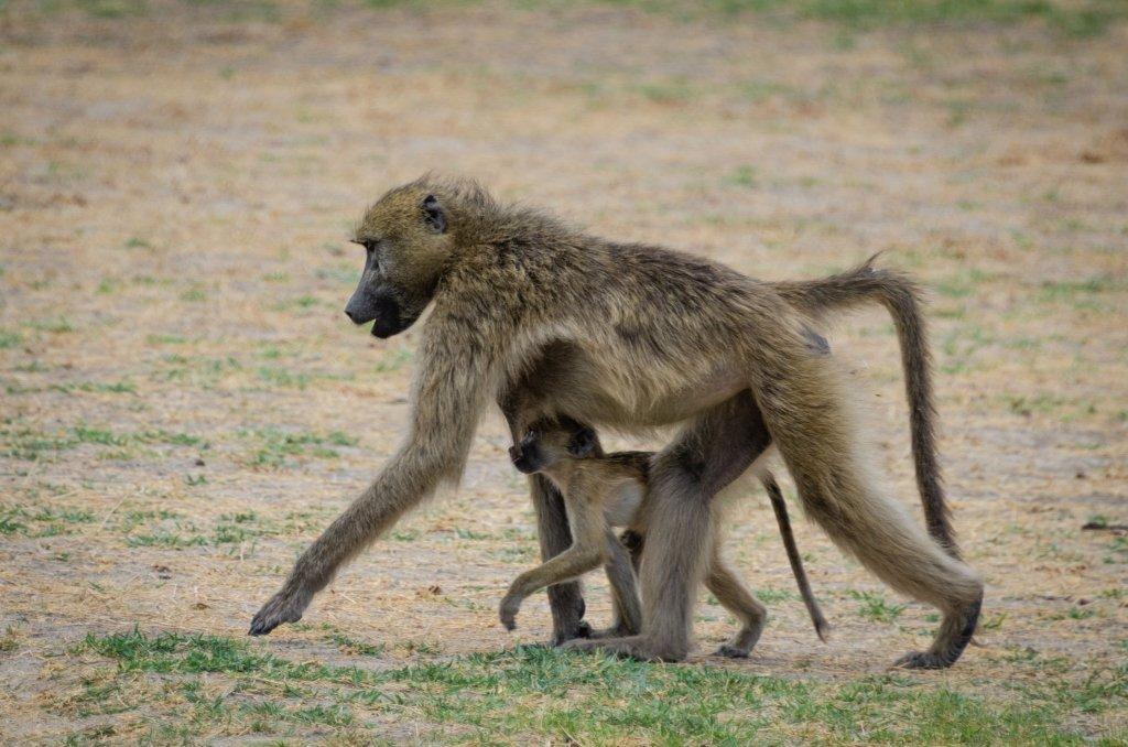 Babbuino mamma con cucciolo