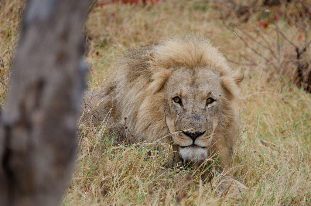 Leone nella Savana in Botswana