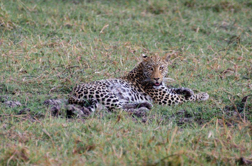 Leopardo in Botswana