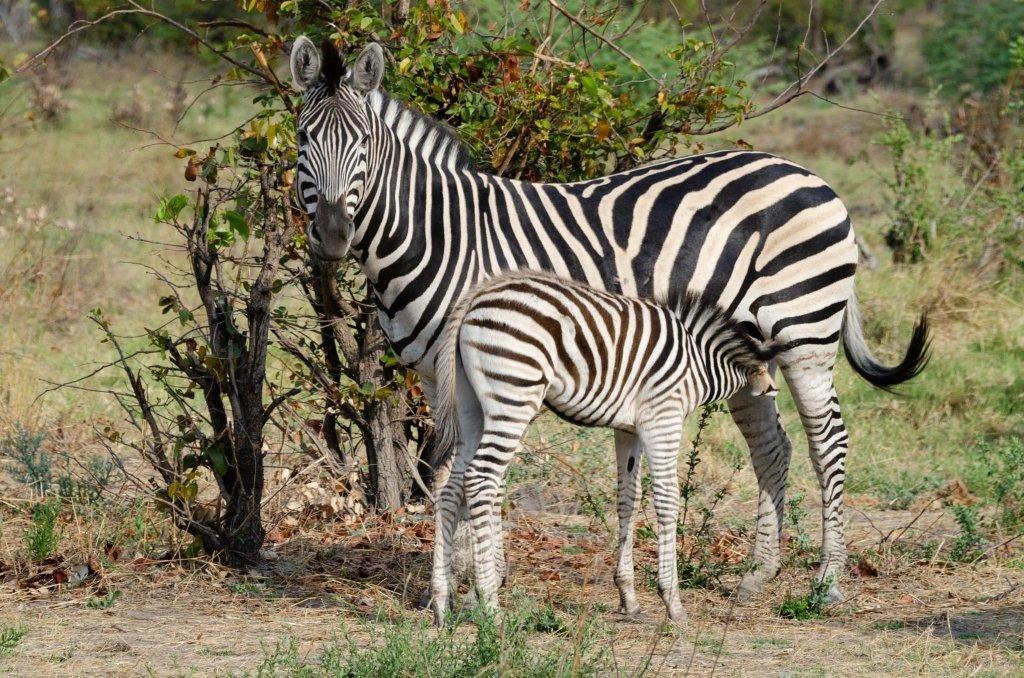 Zebra madre con cucciolo