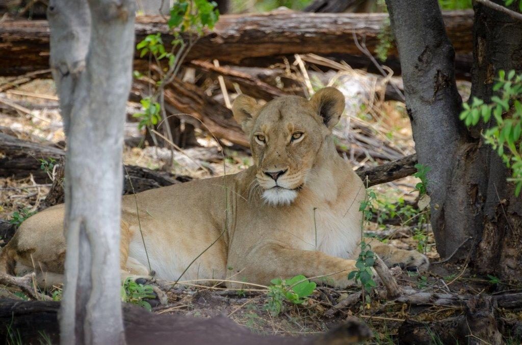 Leonessa in Botswana