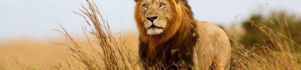 Leone, Serengeti