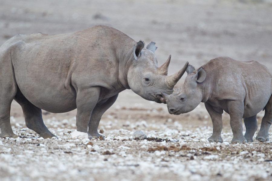Rinoceronte adulto con cucciolo, Tanzania